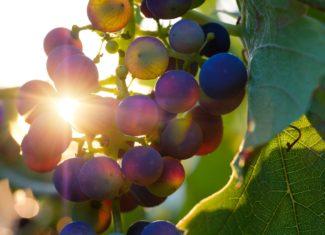 Vin et Vigne dans l'antiquité